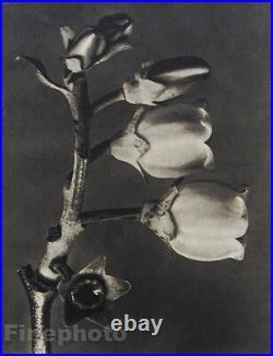1942 Original BOTANICAL PLANT Flower Vintage Germany Photo Art KARL BLOSSFELDT
